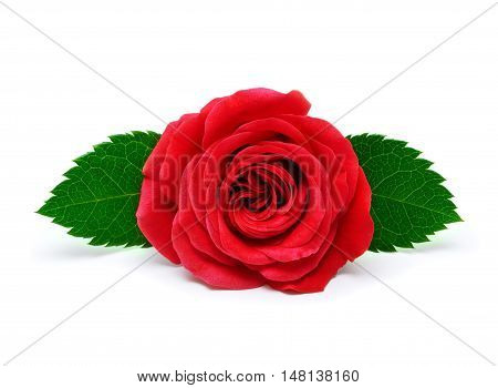 Red rose with leaves isolated on white background
