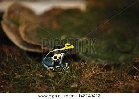 Exotic tiny blue yellow colored frog close reptile