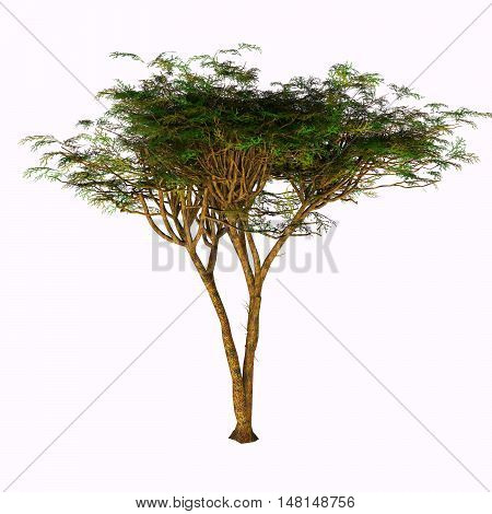 Umbrella Acacia Tree 3D Illustration - The Umbrella Acacia Tree is found in the Sahel of Africa the Sudan and the Middle East.