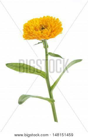 Calendula Flowers with leaves standing isolated on white