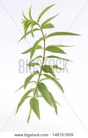 lemon grass for herbal tea or medicinal remedy