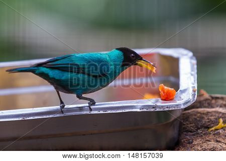 Male Green Honeycreeper Or Chlorophanes Spiza