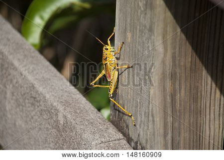 A bright orange lubber grasshopper sitting on a fence or wooden post.