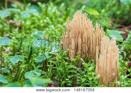 Ramaria eumorpha species of coral fungi in green moss poster