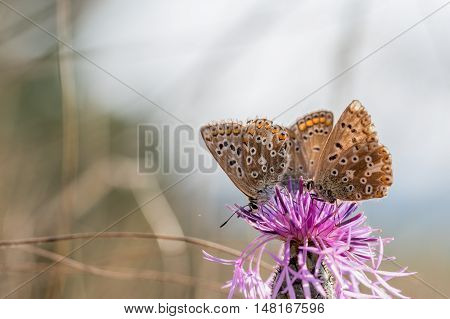 Threesome The Adonis Blue (polyommatus Bellargus) Drinking Nectar From A Thistle