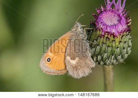 Butterfly Small Heath (coenonympha Pamphilus) On Thistle