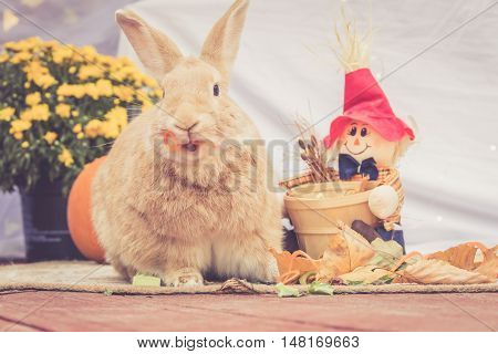 Funny Rufus colored rabbit eats carrot twists with mouth open on simple background and room for text in warm retro look