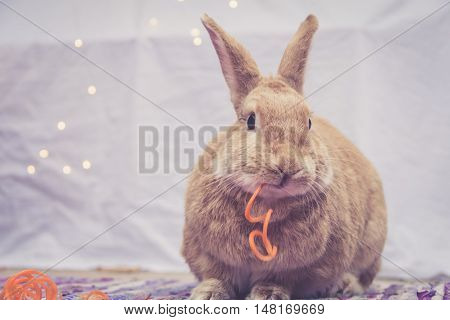 Beautiful Rufus colored rabbit eats long carrot twists with simple background and room for text in warm retro look