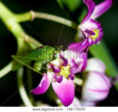 Katydid with pink eyes feeding on petals of milkweed flower.