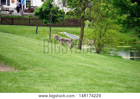 JOLIET, ILLINOIS / UNITED STATES - MAY 16, 2015: A wild coyote (Canis latrans) wanders through the Wesmere Country Club subdivision of Joliet.