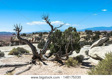 View of a dead tree in San Rafael Swell, Utah