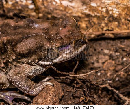 Common Indian toad well camouflaged on muddy ground with one of the eye damaged in fight