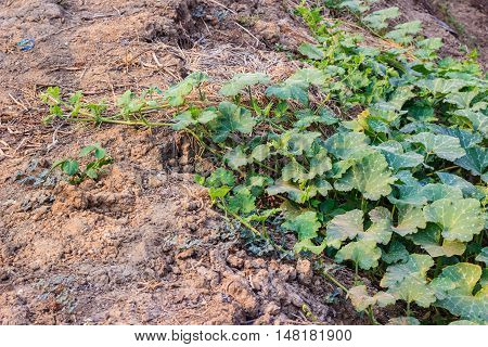 young pumpkin plant growing in the field