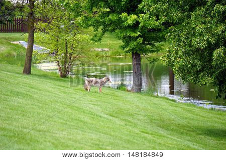 A wild coyote (Canis latrans) wanders through the Wesmere Country Club subdivision of Joliet, Illinois during May.