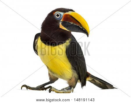 Side view of a Green aracari, Pterogossus Viridis looking at the camera isolated on white