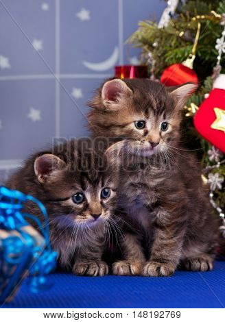 Cute siberian kittens near Christmas spruce with gifts over blue background