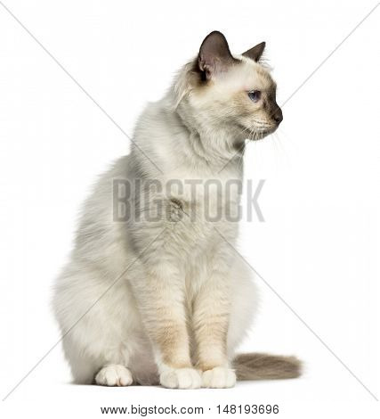 Front view of a Birman cat looking away isolated on white