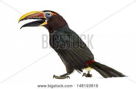Rear view of a Green aracari opening his beak, Pterogossus Viridis isolated on white