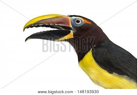 Close-up of a Green aracari opening his beak, Pterogossus Viridis isolated on white