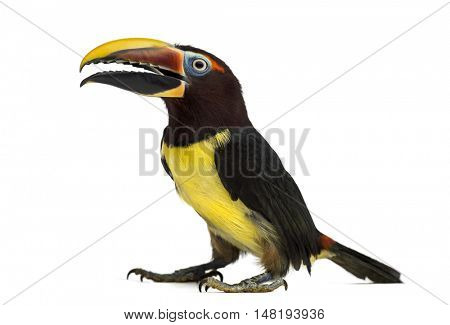 Green aracari opening his beak, Pterogossus Viridis isolated on white