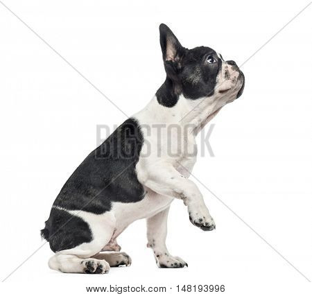 French Bulldog puppy, 4 months old, sitting to the side and looking up with one paw lifted, isolated on white