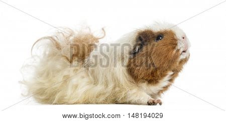 Guinea pig, 3 years old, looking up, isolated on white