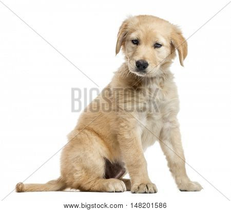 Cross-breed Labrador puppy, 2 months old, sitting and looking down, isolated on white
