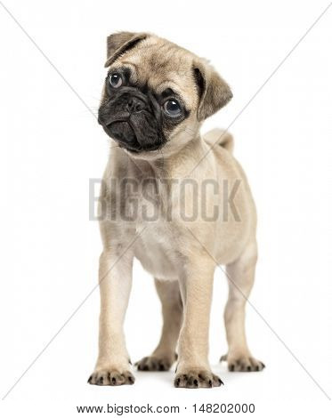 Pug puppy, 3 months old, standing and looking away from camera, isolated on white