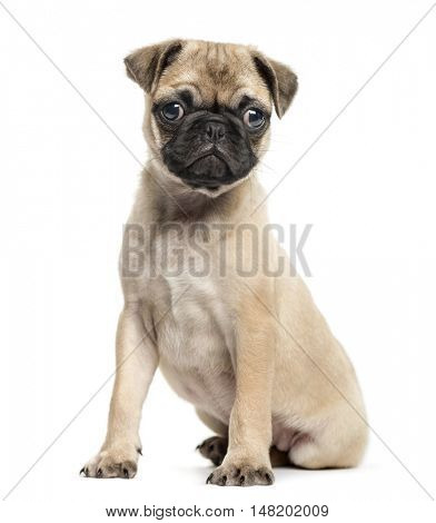 Pug puppy, 3 months old, sitting and looking at camera, isolated on white