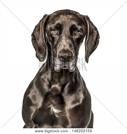 Close-up of German Shorthaired Pointer, 3 years old, looking at camera, isolated on white