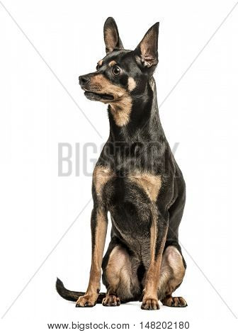 German Pinscher, 2 years old, sitting and looking away from camera, isolated on white