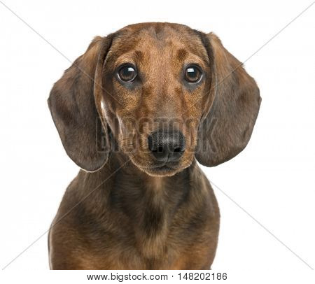 Close-up of Dachshund, 6 months old, looking at camera, isolated on white