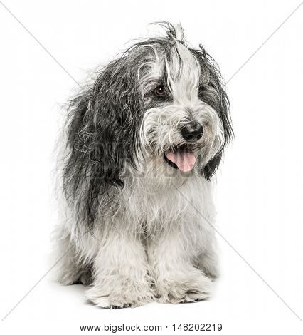 Polski Azwerty Nizinny, 2 years old, Panting and looking away from camera, isolated on white