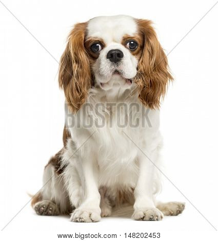 Cavalier King Charles Spaniel, 4 years old, sitting and looking at camera, isolated on white