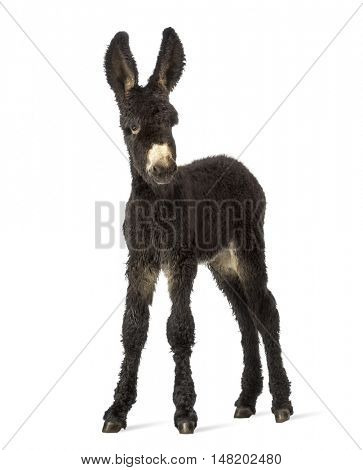 Young foal donkey, baudet du poitoux facing isolated on white