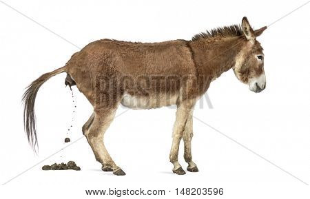 Side view of a Provence donkey defecating isolated on white
