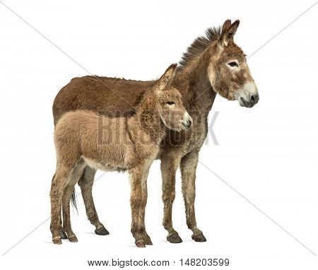 Side view of a Mother provence donkey and her foal isolated on white