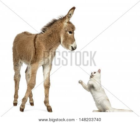 Young Provence donkey, foal playing with British Shorthair cat