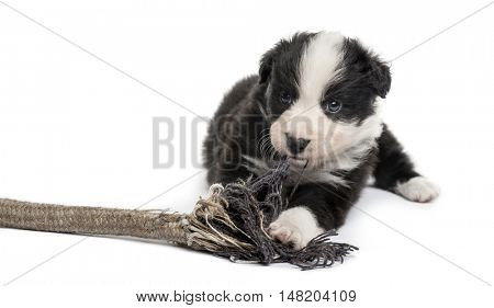 Front view of a Crossbreed puppy playing with a rope isolated on white