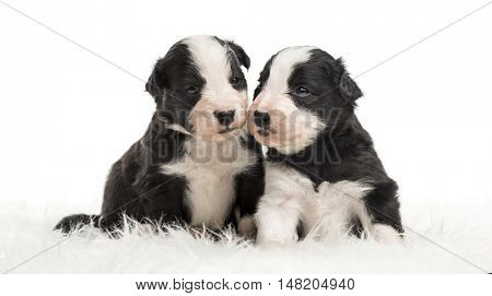 21 day old crossbreed between an australian shepherd and a border collie sitting together on white fur