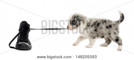 Side view of a crossbreed puppy playing with a shoe isolated on white