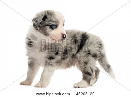 Side view of a 21 days old crossbreed puppy looking away isolated on white