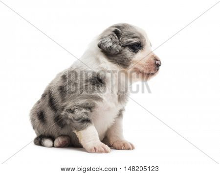 21 days old crossbreed puppy sitting isolated on white
