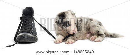 21 days old crossbreed dog playing, shoe, isolated on white