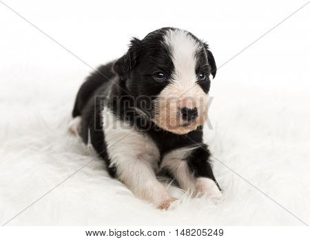 21 day old crossbreed between an australian shepherd and a border collie, lying on white fur