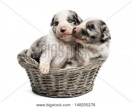 Two 21 day old crossbreed between an australian shepherd and a border collie playing in a basket, isolated on white