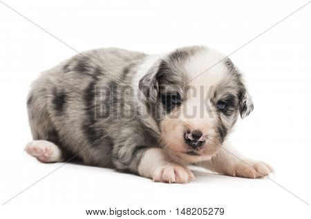 21 days old crossbreed puppy isolated on white