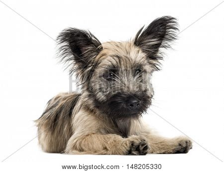 Front view of a Skye Terrier dog lying down isolated on white