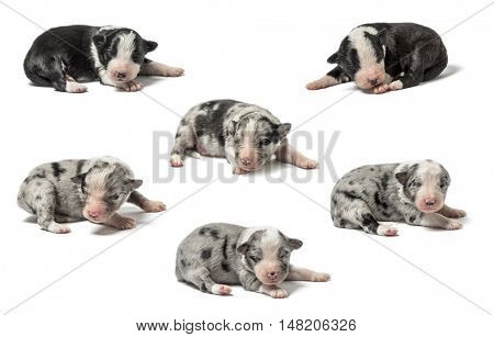 Group of crossbreed Puppies isolated on white