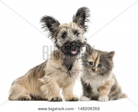 Skye Terrier and European Shorthair kitten facing isolated on white